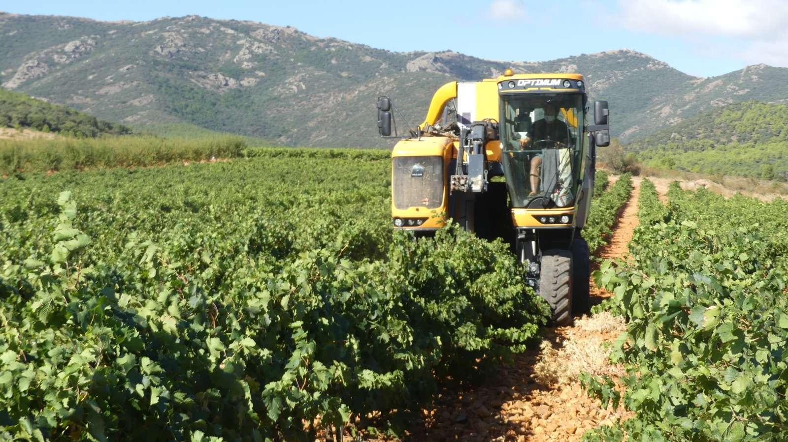 La D.O.P. Cariñena cierra una vendimia «excelente» con casi 92 millones de kilos de uva, un 65% más que en 2019