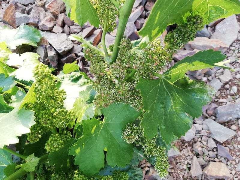 El viñedo en la Denominación de Origen Protegida Calatayud inicia la etapa de verano con perspectivas optimistas de cosecha.
